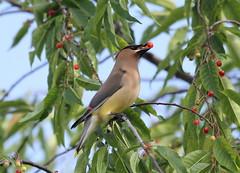 Fruit thief  /  Petit voleur de fruits (ricketdi) Tags: bird cantley jaseurdamrique jaseur cedar cedarwaxwing