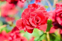 With the sun's love (marionrosengarten) Tags: flower rose blossom sun light nature drops droplets dof nikon