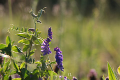 Light sonata for wild vetch (grce) Tags: light macro nature bokeh outdoor flower wild plant field meadow summer canon canoneos550d tamron tamronlens
