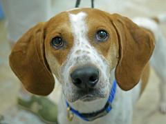 Charlie_01 (AbbyB.) Tags: dog pet animal newjersey canine doggy shelter shelterpet petphotography easthanovernj mtpleasantanimalshelter