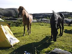 Horses (Pivi ) Tags: horse brown black tent island summer holiday kayak paddling sweden bohusln