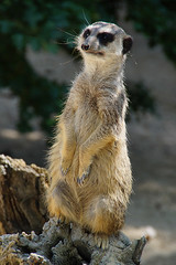 DSC00465 (Christine Gerhardt) Tags: deutschland zoo stuttgart wilhelma erdmnnchen tierfoto flickrtreffen2016jul17