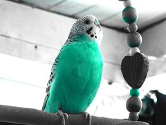 chirpchrip (Reinley) Tags: blue birds coloring selective