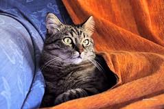 Lady Ortensia (stefano.chiarato) Tags: animali gatti cats