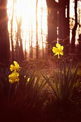 daffodils dawn (PHTMatrix) Tags: light flower nature yellow dawn warm daffodils