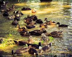 Duck Soup (that_damn_duck) Tags: ducks nature water