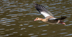 Egyptian Goose  |  Nilgans (Explore 08/10/2016) (abritinquint Natural Photography) Tags: bird vogel natural wildlife nature wild nikon d750 telephoto 300mm pf f4 300mmf4 300f4 nikkor teleconverter tc17eii pfedvr luxembourg nilgans egyptiangoose inflight bif
