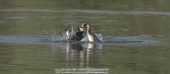 Svasso maggiore - Podiceps cristatus - Great Crested Grebe (robertovillaopere) Tags: svassi greatcrestedgreabe quarrel lite