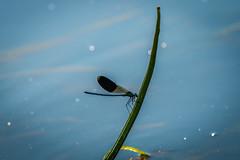 Calopteryx splendens (notastyy) Tags: damselflies dragonflies dragonfly macro closeup nature blue wildlife animal metallic water
