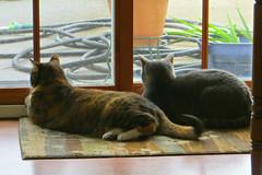 Gracie and Millie 17 August 2016 0704Ri 4x6 (edgarandron - Busy!) Tags: cat cats kitty kitties tabby tabbies cute feline gracie patchedtabby millie graytabby