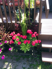 Sun Container 2016 (daryl_mitchell) Tags: summer 2016 saskatoon saskatchewan canada home garden container neighbourhood wildwood papyrus pelargonium ipomoea flower