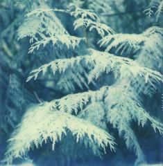 Green (carterelizabeth) Tags: ferns rainforest polaroid pnw film sx70 instantfilm roidweek2016 washington