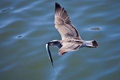 Food! (JOAO DE BARROS) Tags: barros joao animal bird fly seagull food