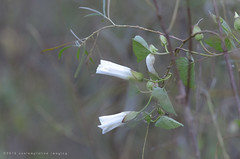 white vine (contemplative imaging) Tags: 2016 20160916 32 cipvca20160916d7000 d7000 september america american area center cloudy conservation contemplativeimaging digital district dslr flowers friday hot humid il ill illinois mchenrycounty midwest midwestern natural nature nik55300dx nikon overcast park photo photography pleasantvalley ronzack stilllife summer usa vine white wildflowers lowcontrast bokeh dof