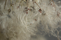 Awake my soul.., (Karl's Gal) Tags: clematisseedheads seed clematis autumn september fall favoriteseason karlsgal stalbert