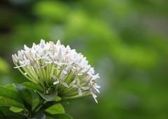 White Mini Ixora (ragams) Tags: whiteminiixora dwarfwhiteixora westindian jasmine homegarden bunch flowers white ixora