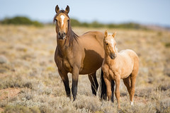 Mother Daughter in the Sagebrush (jeff_a_goldberg) Tags: utah sanrafaelswell wildlife nature mustangs horses mare horse foal mustang greenriver unitedstates us