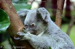 Koala - Phascolarctos cinereus (MrTDiddy) Tags: koala phascolarctos cinereus beer bear vrouwelijk female guwara marsupial buideldier zoogdier mammal zooantwerpen zoo antwerp antwerpen