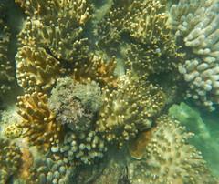 Coral at South Stonehaven (Vickyeastwood) Tags: queensland qld whitsundays whitsundayscoast nikon coastline sea ocean sailing catamaran bareboat bareboating charterboat charteryacht nikonaw130 aw130 nikoncoolpix turtlebay snorkeling coralreef greatbarrierreef reef swimming underthesea