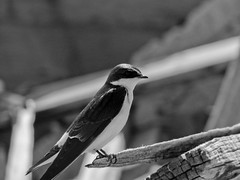 11102014-DSC00070 (sbstnhl - Siti) Tags: bw naturaleza blanco sony negro aves bn golondrina dsch2