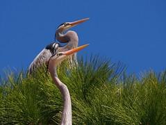 Do you see it? (Digital Rebels) Tags: colour tree green bird florida great beak greatblueheron timmins