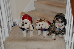 Trick or Treat Puppies (picturetakingone) Tags: dog dogs halloween costume puppies suits king or queen clothes treat trick 2014