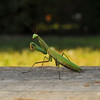 I swear if you touch me with that stick... (Patrick.Russell) Tags: mantis insect prime nikon colorado praying d300