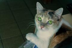 Dora (santicord) Tags: brasil cat feline pretty purrfect