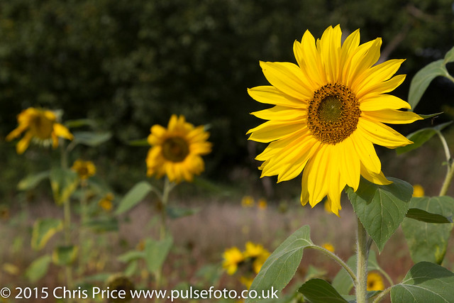 Sunflowers, Morgaston Woods and the Vyne