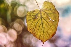Autumn leaf (CARLORICCI) Tags: autumn light italy backlight vintage lago leaf italia bokeh 85mm carlo foglia autunno viterbo controluce lazio thelake ronciglione lagodivico bellavenere nikond800 copyright carloricci nikkor85mmf18g riccarlo carl ocarlo