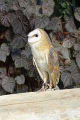 (ddsnet) Tags: travel bird birds japan zoo sony birding cybershot raptor  nippon  birdwatching nihon birdofprey backpackers        rx10 zoobird hygoken      birdwatchinginjapan