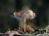 Bonnet Mold (Spinellus fusiger) (Ron Wolf) Tags: california nature mushroom fungi fungus henrycowellredwoods zygomycota zygomycetes spinellusfusiger phycomycetaceae bonnetmold