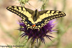 Cypriot Butterfly I (Holfo) Tags: cyprus butterfly nikon d5100 flower thistle insect cypriot colour color yellow black macro nature wildlife wings fauna beauty mediterranean basking digital flickr natural serene outdoor winged waiting serenity beautiful wild superb wowfactor