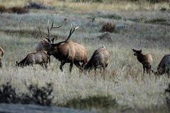 IMG_0391a (markbyzewski) Tags: colorado ugly elk estespark rockymountainnationalpark rut