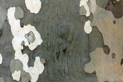 Plane Tree Bark Texture 1 (gripspix (OFF)) Tags: france texture bark provence rinde castellane planetree platane textur 20140911