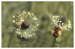 ANDROCEO. (manxelalvarez) Tags: flores estambres estames androceo