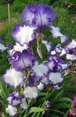 Tall Bearded Iris Going My Way (digsinthedirt) Tags: seattle flowers iris summer favorite plants white plant flower color green art fall colors beautiful beauty bulb contrast yard way out beard stand washington petals spring open purple blossom gorgeous large going velvet creation breeding stamen fragrant bloom huge stitching thumb tall bouquet bulbous bud hybrid producer bearded planting yakima irises cultivation bold blooming breeder rhizome cultivate rhizomes my hybridizer plicatta