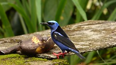 Mielero patirrojo  (Cyanerpes cyaneus) (Jorge Sols Campos) Tags: bird animal fauna costarica ave wildanimal pjaro cyanerpescyaneus animalsalvaje prezzeledn mieleropatirrojo