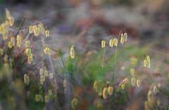 Shivery Grass Sunset (caralan393) Tags: grass dof seeds delicate caralan