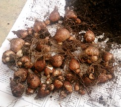 Bulbos de fresias (TheNiloGirl) Tags: cosecha bulbos fresias propagacin