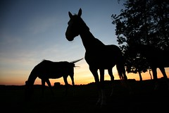 horses (jeancliclac) Tags: sunset red summer portrait sky horses horse cloud sun color cute nature animal animals silhouette sport yellow clouds rural landscape denmark landscapes countryside holidays sundown head farm country farming hobby farmland pasture danish leisure agriculture pastoral scandinavia equestrian equine agricultural equid