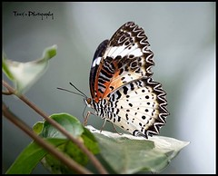 Leopard Lacewing (tareq uddin ahmed) Tags: park colour nature canon butterfly leopard ahmed bangladesh lacewing chittagong uddin tareq
