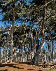 Monterey Cypress Forest (Gentilcore) Tags: sanfrancisco california trees unitedstates landsend cypress montereycypress cupressus cupressusmacrocarpa cupressaceae goldengatenationalrecreationarea nationalrecreationarea