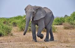 Elephant - Botswana (stevelamb007) Tags: africa wild elephant walking bush wildlife ellie botswana tusks kasane choberiver d90 africanwildlife chobenationalpark stevelamb