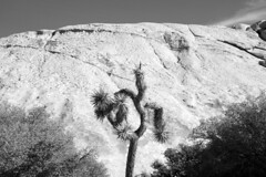 Joshua Tree National Park, 2015 (matt-artz) Tags: desert joshuatree mojavedesert joshuatreenationalpark