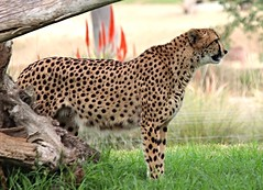 Cheetahs - Addison (Pix.by.PegiSue>Thx over 4M+ views! Click on Albums) Tags: california park wild cats cute nature animal animals cat canon zoo cub feline chat flickr sandiego african wildlife safari bigcat gato wap felinos cheetah cubs endangered addison wildcat wildanimalpark sandiegozoo animalplanet cutecat exoticcats bigcats cheetahs chatte escondido nationalgeographic nonprofit félin cuteanimals babyanimals sdzoo duma guepardo guépard exoticanimals caturday チーター exoticfelines animalesexóticos flickrbigcats flickrbigcat sandiegozoosafaripark instacute sdzsafaripark catsofinstagram californiababyanimals pixbypegisue zooglobal losgrandesfelinos wwwflickrcomphotospixbypegisue desanimauxexotiques felinosexóticos félinsexotiques