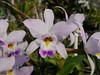 Laelia anceps ('Helen' x 'Pop') (cieneguitan) Tags: flower flora lan bunga orkid okid angrek anggerek