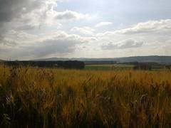 Spighe di grano a Vaumarcus (Svizzera)