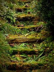 Garden stairs / Gartentreppe (Caledoniafan) Tags: winter green nature overgrown stairs garden nikon natur steps januar