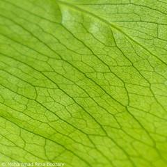 Leaf (Mohammad Reza Boozary) Tags: macro green persian leaf iran pentax tehran  macrography     pentaxian   pentaxart pentaxda1855alwr pentaxk50